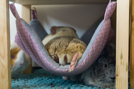 meerschweinchen liegt in einer hängematte