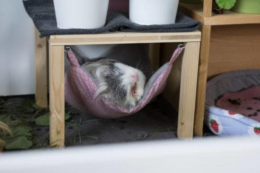 meerschweinchen gähnt