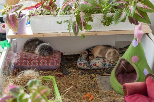 meerschweinchen liegen auf sofa