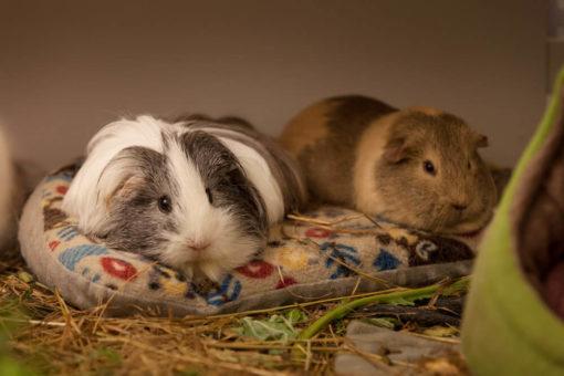 sofa meerschweinchen