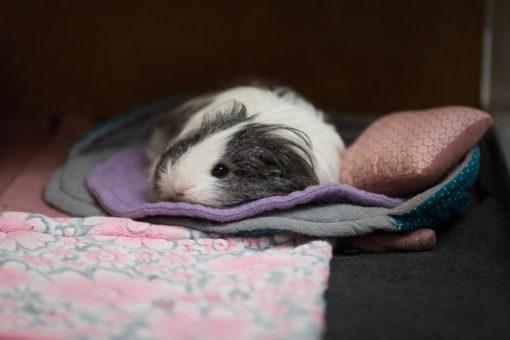 meerschweinchen liegt auf fleece